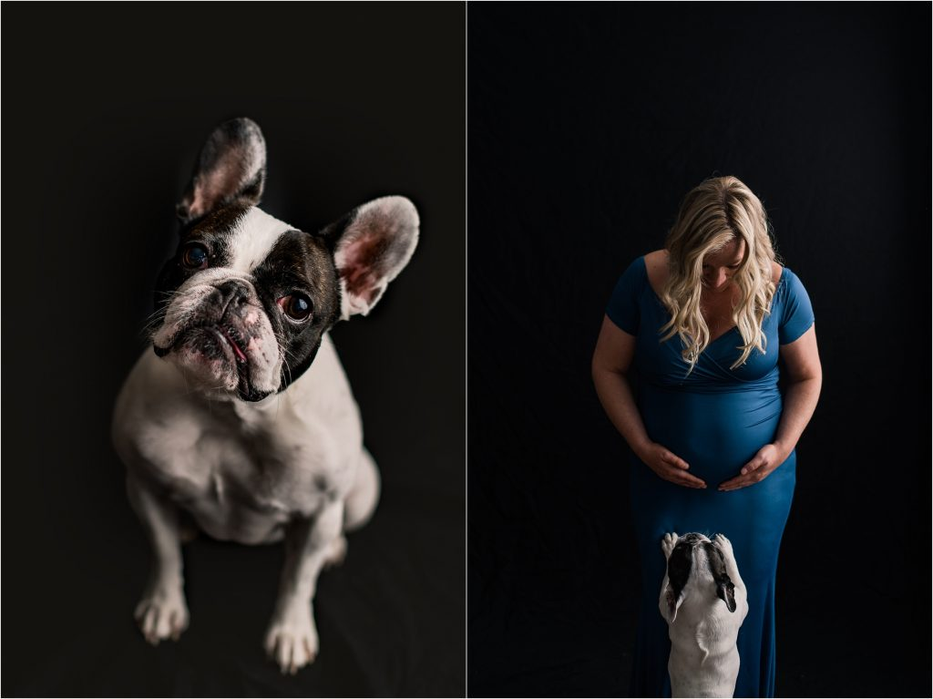Pet session in studio during maternity session, frenchie jumping up to see mom and baby belly